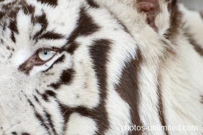 2-04-white-tiger