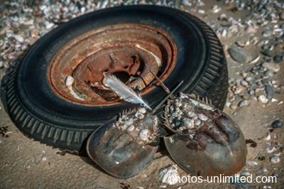 2-17-horseshoe-crabs