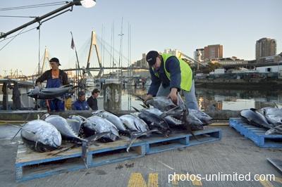 4-06-unloading-the-tuna-sydney-australia